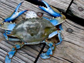 Crabbing Ocean City MD
